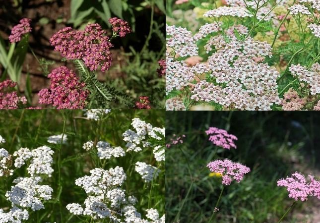Yarrow. 4 types
