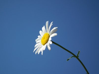 Chamomile on blue background