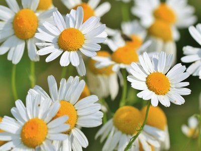 Chamomile tea for hair loss