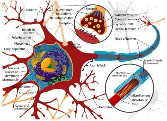 Science. Diagram cell neuron