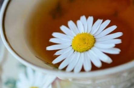 Chamomile tea during first trimester