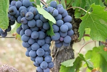 grapes on tree