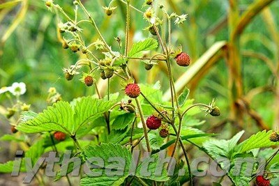 Wild strawberry in the forest