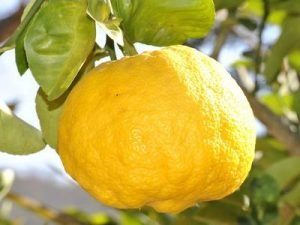 lemon hanging on the tree