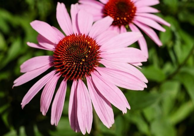 Flower Of Echinacea