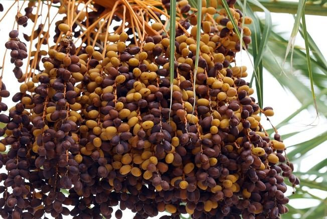 Fresh dates on palm