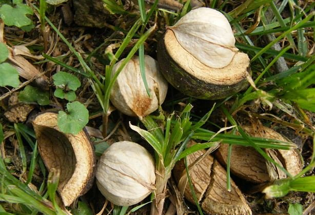 Hickory Tree Nuts