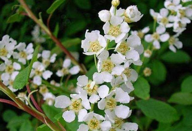 Flowers of bird cherry