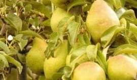 Fresh pears on the tree