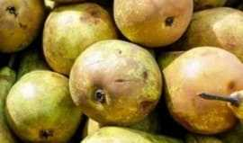 Health benefits of eating pear fruits during pregnancy