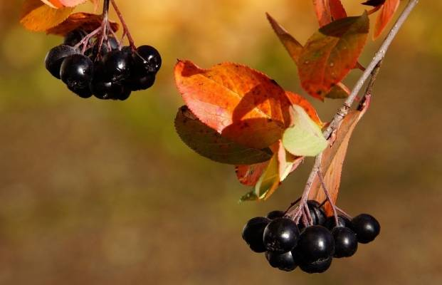 Aronia berry and autumn