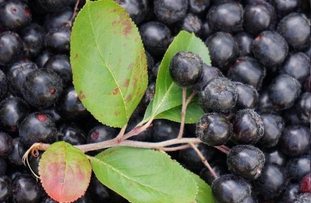 Aronia berry health benefits