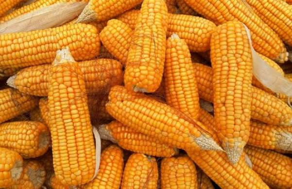 Corn and protein