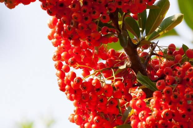 Red berries of sea buckthorn