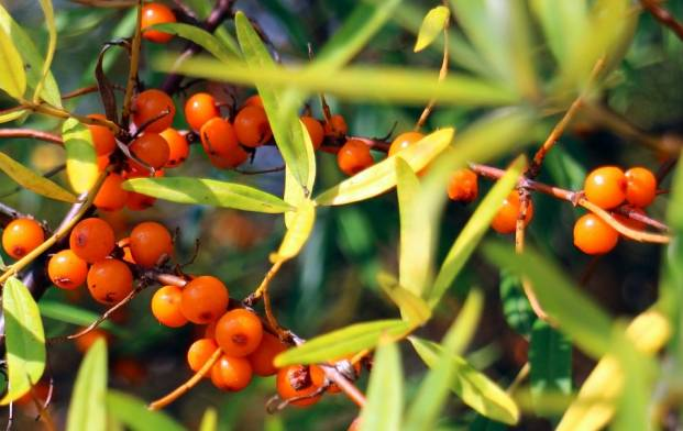 Ripe berries of sea buckthorn