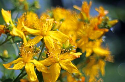 St John's Wort tea and pregnancy
