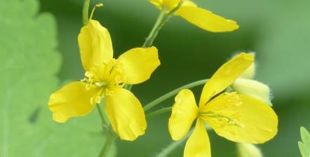 Greater celandine for warts