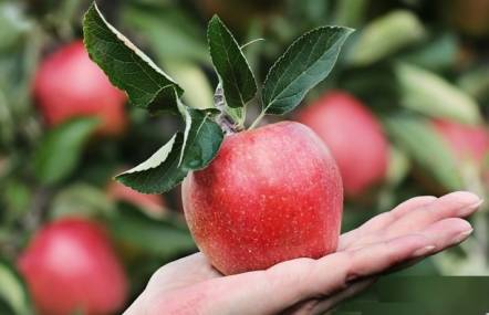 Is it safe to eat apples during pregnancy